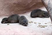 فیلم | تولد خرگوش کوهی-صخرهای سه قلو در بریتانیا