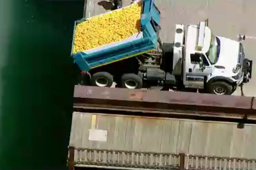 فیلم | ۶۳ هزار جوجه اردک پلاستیکی در رودخانه شیکاگو!