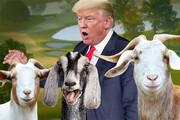 فیلم   ترامپ با این بزها از مالیات فرار میکند