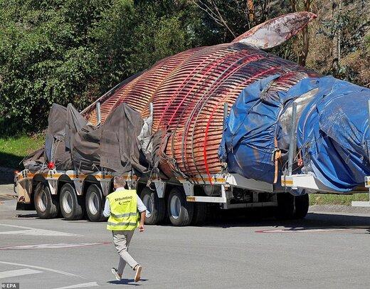 نهنگ ۷۵ تنی در سواحل اسپانیا
