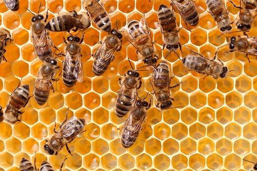 فیلم | خوابیدن روی کندوهای زنبور برای درمان!