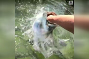 فیلم | ماهیهای عظیمالجثهای که جاذبه توریستی فلوریدا شدند