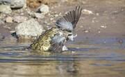 تصاویر | لحظه شکار کبوتر توسط تمساح