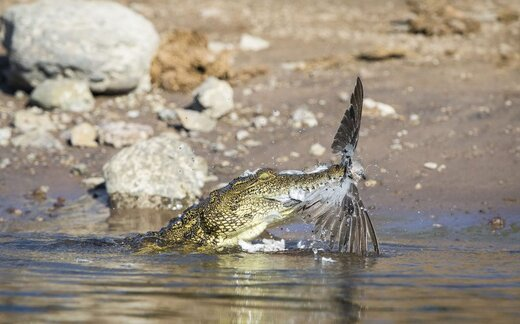 شکار کبوتر توسط تمساح در بوتسوانا