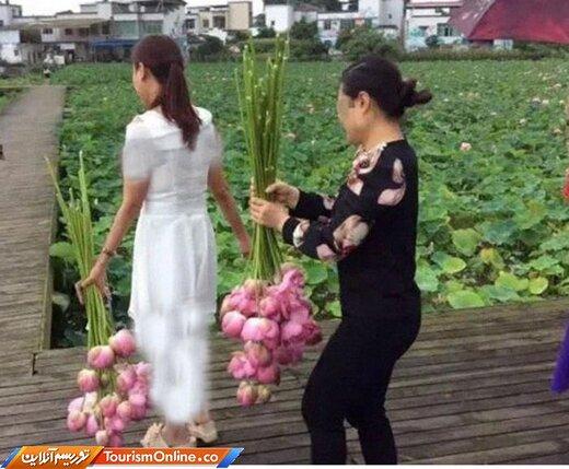 کندن و بردن گلهای لوتوس از باغهای گیاهشناسی!