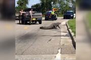 فیلم | تمساح 11 فوتی 1 ساعت ترافیک درست کرد!