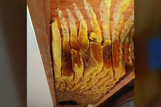 فیلم | زنبورها زیر سقف خانهای در استرالیا ۵۰ کیلوگرم عسل تولید کردند