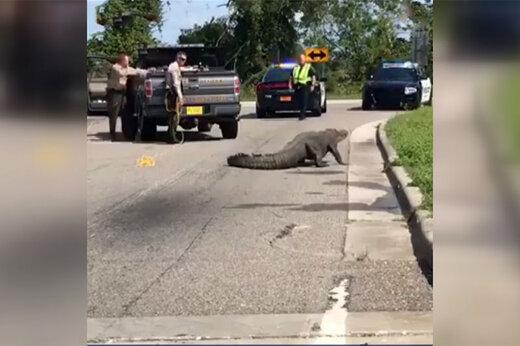 فیلم   تمساح 11 فوتی 1 ساعت ترافیک درست کرد!