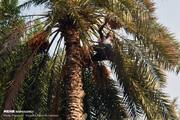 تصاویر | جشنواره برداشت خرما از نخل در میناب