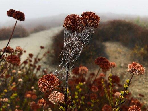 نشستن قطرات شبنم بر روی تار عنکبوت در صبح مهآلود در شهر لسآنجلس ایالت کالیفرنیا آمریکا