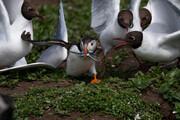 عکس | طوطی دریایی و جوجههایش در عکس روز نشنال جئوگرافیک