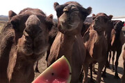 فیلم | گله شترها در میانه تبریز-زنجان چه می کنند؟