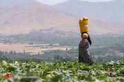 تصاویر | برداشت محصولی از شرق آسیا در روستای ابرلاق سفلی
