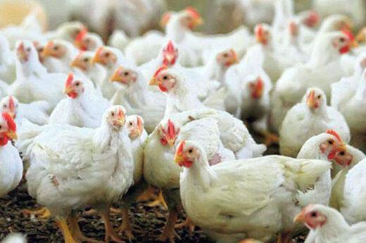 مرغ به قیمت ۱۴ هزار تومان برگشت