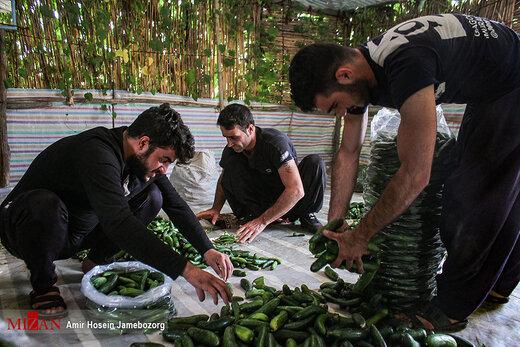 برداشت خیار بوتهای در تویسرکان همدان