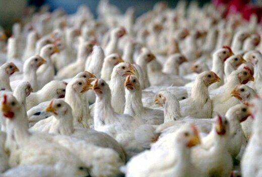 «نیوکاسل» در سه روز، ۱۲ هزار مرغ را در یزد تلف کرد