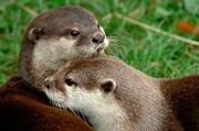 ممنوعیت تجارت سمورهای آبی در معرض انقراض