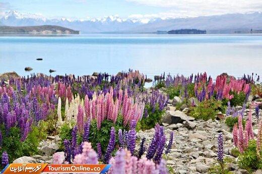 دشت ترمس (لوپن) –نیوزیلند-