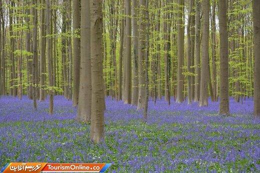 جنگل بلوبل-بلژیک-