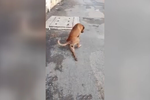 فیلم | سگی که خودش را به فلجی میزند تا گدایی کند
