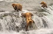 عکس | پشتکار خرسها برای شکار سالمون در عکس روز نشنال جئوگرافیک