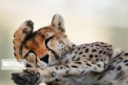 تصاویر | به مناسبت روز ملی یوزپلنگ آسیایی ببینید