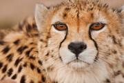فیلم | مشاهده ۲ یوزپلنگ ایرانی در جنوب سمنان پس از ۴۰ سال!