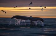 عکس | پرواز پرستوهای دریایی بالای سر نهنگ در عکس روز نشنال جئوگرافیک