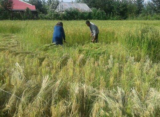 قیمت برنج در تهران باید حداکثر ۲۳ هزار تومان باشد