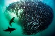 عکس | طمع کوسهها برای شکار ساردینها در عکس روز نشنال جئوگرافیک