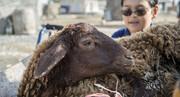 روی خوش بازار ایران به گوسفندان روسی
