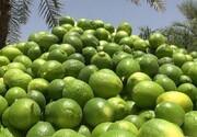 ۱۱ هزار تن لیمو ترش از باغهای سیستان و بلوچستان برداشت شد