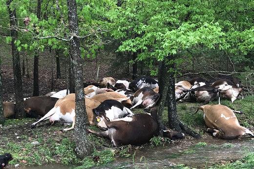 فیلم | مرگ دسته جمعی گاوهای یک مزرعه بر اثر صاعقه