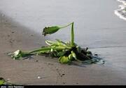 سواحل گیلان در محاصره خطرناکترین گونه گیاهان مهاجم آبزی/ عکس
