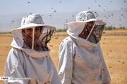 تصاویر   برداشت عسل طبیعی در اراک