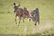 تصاویر | فرار ناموفق از چنگال یوزپلنگ