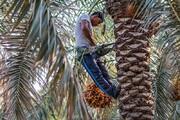 تصاویر | برداشت خارک و رطب در آبادان