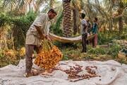 تصاویر | برداشت خارَک و رطب در آبادان