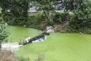 تصاویر | گیاهی که به رودخانههای آستارا حمله کرد!