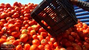 هجوم کشاورزان برای کشت گوجهفرنگی