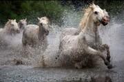عکس | عبور اسبهای وحشی از رودخانه گلی در  عکس روز نشنال جئوگرافیک