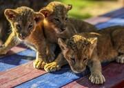 تصاویر | بچه شیرهای باغ وحش رفح