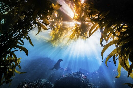 برنده جایزه بزرگ این رقابت «تایلر اسکیفمن» است که از یک شیر دریایی عکس گرفته است
