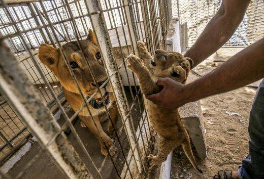 سازمان حفاظت محیط زیست: به دنبال ایجاد باغ وحش نیستیم