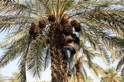 همایش ملی خرما در شادگان برگزار می شود