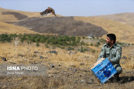 رهاسازی ۶۰ پرنده شکاری در طبیعت همدان