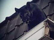 عکس | پلنگ سیاه روی شیروانی خانه مسکونی