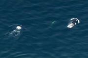 فیلم | تصاویر زیبا نهنگ های قاتل درحال شکار