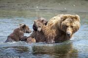 تصاویر | سواری گرفتن دو توله خرس از مادرشان در آلاسکا