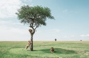 عکس | شیرهای کنیایی در عکس روز نشنال جئوگرافیک
